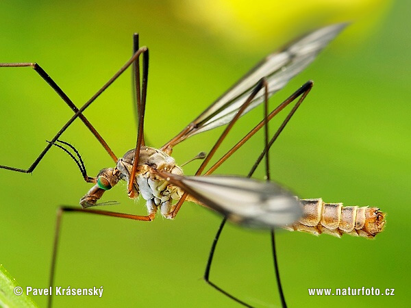 Crane Fly Eat Mosquitoes